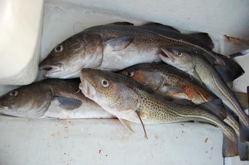 Aštuonios Europos nevyriausybinės organizacijos prašo sustabdyti menkių žvejybą ties Lietuva