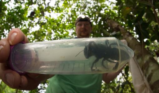 Indonezijoje rasta didžiausia pasaulyje bitė (vaizdo įrašas)