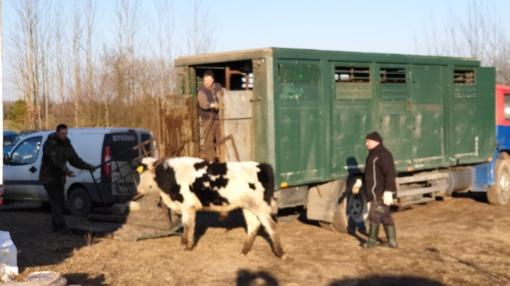 Iš ūkininko paimti žiauriomis sąlygomis laikyti galvijai