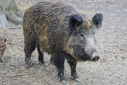 Lietuvoje per savaitę afrikinis kiaulių maras nustatytas 17 šernų, pranešta apie ligos protrūkį Lenkijoje ir Italijoje