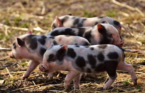 VMVT primena apie prievoles ketinantiems įsigyti ar parduoti kiaules ar paršelius