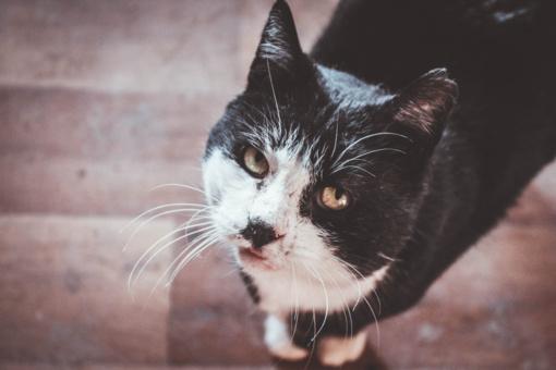 Klastingos kačių ligos – pavojaus signalas murklių mylėtojams