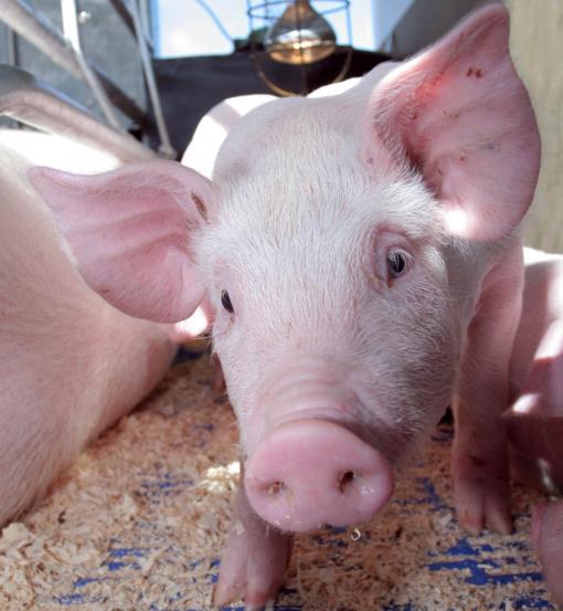 Prievolės ūkininkams, ketinantiems įsigyti ar parduoti kiaules ar paršelius