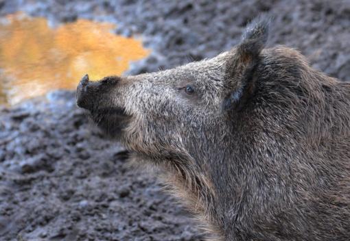 Per savaitę afrikinis kiaulių maras nustatytas 14 šernų