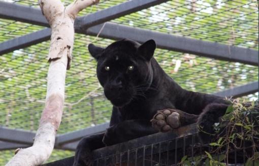 """Dėl """"asmenukės"""" barjerą peržengusią moterį užpuolė jaguaras (vaizdo įrašas)"""