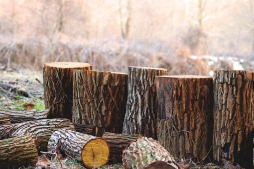Molėtų rajone nelegaliai išpjauti medžiai