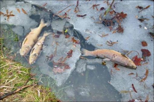 Miesto parke – negyvos žuvys