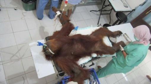 Džiunglėse rastas aklas, 74 šratais sušaudytas orangutangas