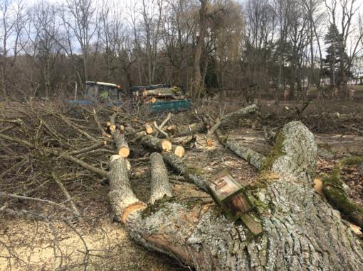 Ministerija nustatys apribojimo kirsti medžius želdynuose laikotarpį