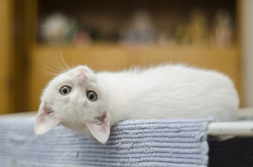 Katės atpažįsta ištariamus jų vardus, parodė tyrimas