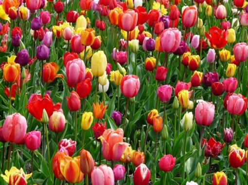 Burbiškio dvaras kviečia savaitgalį grožėtis tulpių žydėjimu