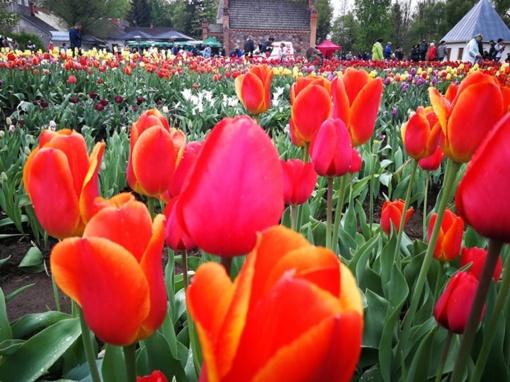 Tulpės sužydėjo devynioliktajam pasimatymui (galerija)