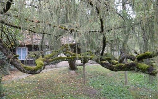 Pažintis su 25 įspūdingiausiais saugomais medžiais – keliaujant ir žaidžiant