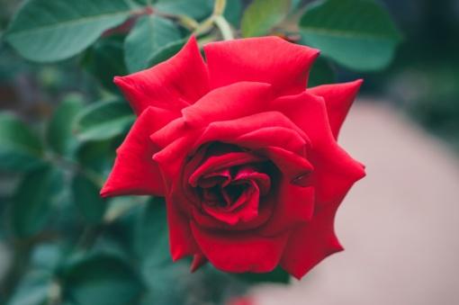 Kaip mylėti rožes?