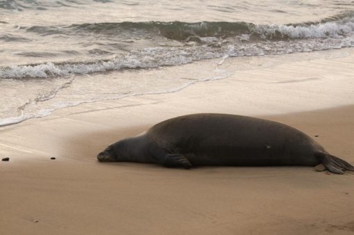 Klaipėdoje netoli Jūrų muziejaus iš marių ištrauktas nugaišęs, 200 kg sveriantis ruonis