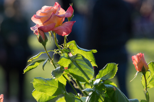 """Chaimo Frenkelio vilos parko rožynas įkvėpė parodą """"Rožės kodas"""""""