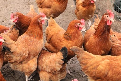 Viščiukų ir dedeklių detektyvas