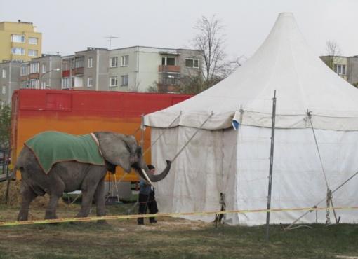 Cirkui Lietuvoje sustabdytas leidimas rengti viešus pasirodymus su drambliu