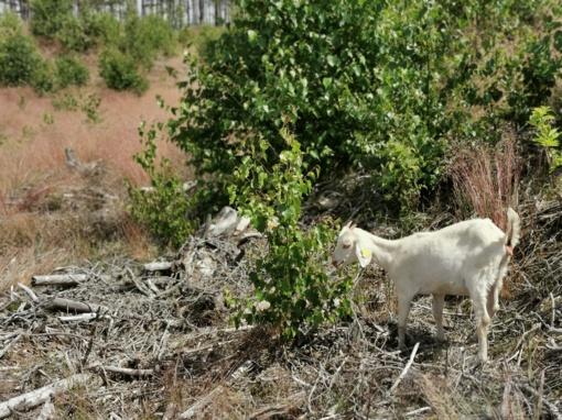 Kuršių nerijoje žaliuosius plotus prižiūrės ožkos