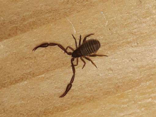 Ir Lietuvoje gyvena skorpionai?