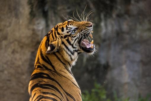 Italijoje tigrai sudraskė cirko dresuotoją