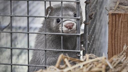 Kailinių žvėrelių fermos Lietuvoje: gyvūnų mylėtojai stoja į bekompromisinę kovą su lobistais