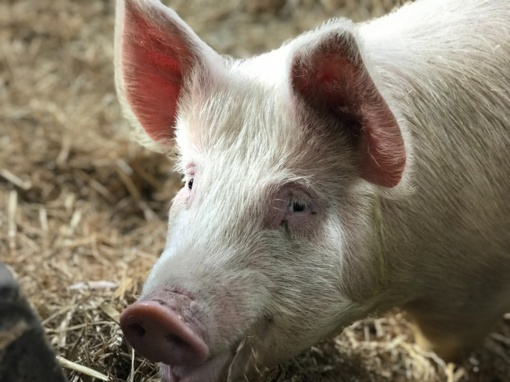 Šiaulių rajone atšaukta ekstremali situacija dėl afrikinio kiaulių maro