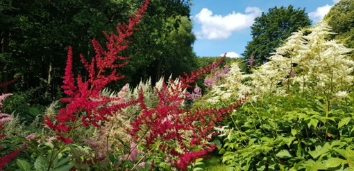 VDU Botanikos sodą spalvina astilbės