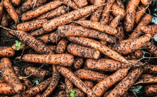 Sausra didžiausią žalą padarė bulvėms, burokėliai ir morkos dar gali atsigauti