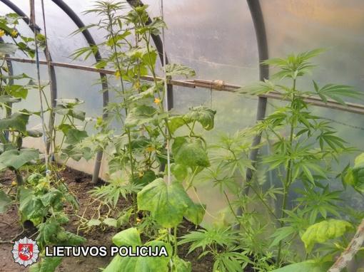 Lentavario šilnamiuose tarp pomidorų ir agurkų auginamos ir kanapės (vaizdo įrašas)