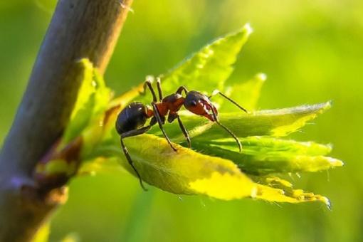 Mokslininkai skelbia, kad skruzdžių valgymas gali apsaugoti nuo vėžio