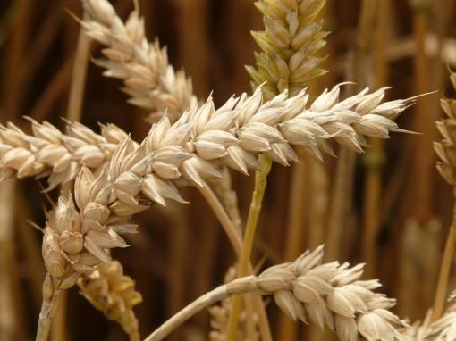 Grūdų derlius Suvalkijoje vidutiniškas, bet geresnis nei pernai