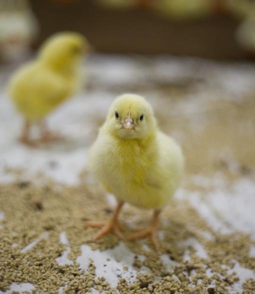Didėja paukštienos iš Ukrainos importas – ar saugu ją vartoti?