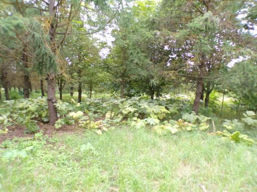 Sosnovskio barščiai, mūsų laukų svetimkūniai