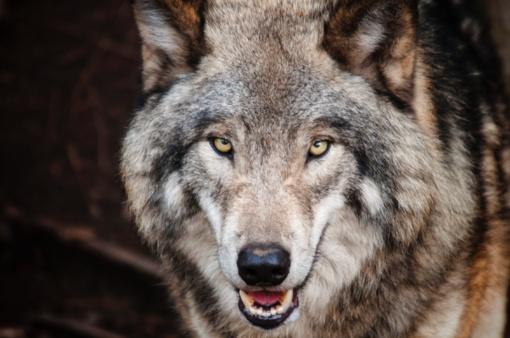 Vilkai sudraskė Mačionių ūkininkų avis