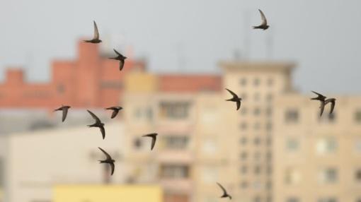 Paukščiai būriuojasi, bet dar ne ruduo