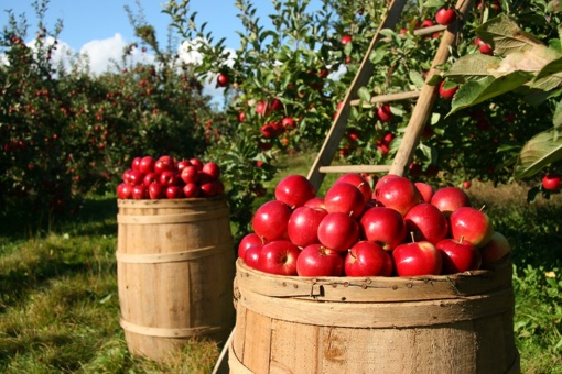 Sodininkams neskaudės galva, kur dėti obuolius