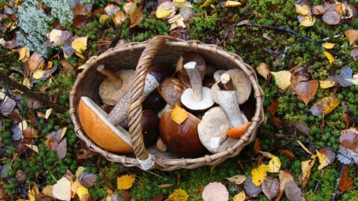 Grybautojo atmintinė: kur ir kada ieškoti populiariausių valgomųjų grybų?