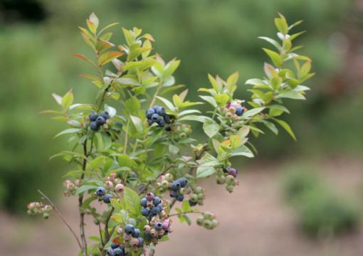 Lietuvos šilauogių augintojams galėtų atsiverti ir Olandijos rinka