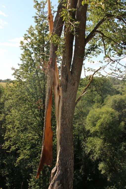 Ekspertai pateikė išvadas dėl medžių genėjimo