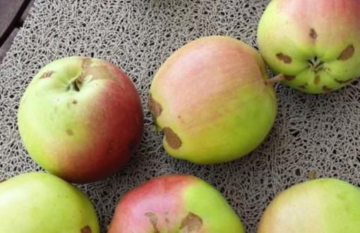 Šalnų paveiktais obuoliais bus galima prekiauti ir prekybos centruose
