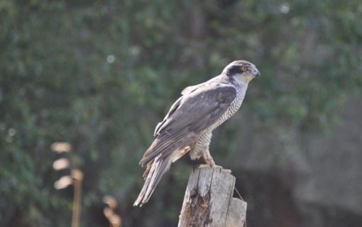 Prienų rajone neteisėtai sugautas į Lietuvos raudonąją knygą įrašytas paukštis
