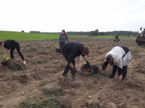 Pamokos vyksta bulvių laukuose