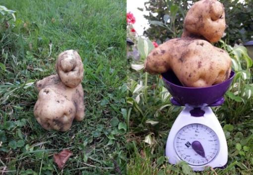 Užderėjo įspūdingo dydžio bulvė