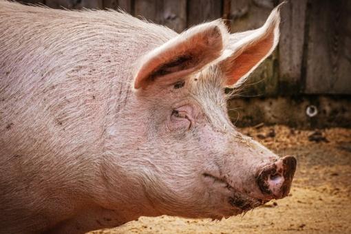 Biržietės verslumui nėra ribų: pardavinėjo antstolės areštuotus gyvulius