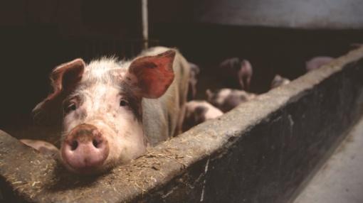 Kauno rajone užfiksuotas dar vienas afrikinio kiaulių maro užkratas