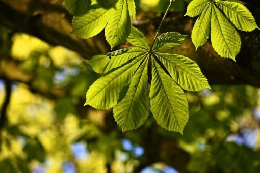 Aliarmas dėl Europos medžių: daugiau kaip pusei rūšių gresia išnykimas