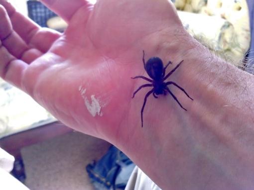 Dėl nuodingų vorų antplūdžio uždaromos mokyklos