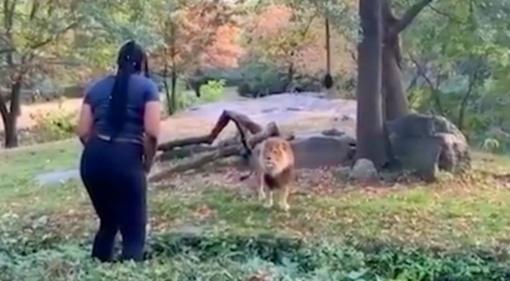 Protu nesuvokiama: zoologijos sode moteris įlipo į liūtų aptvarą (vaizdo įrašas)