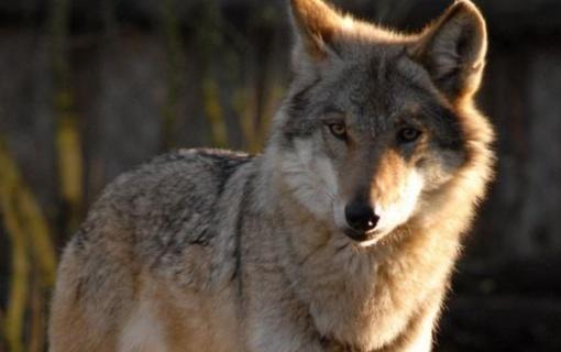 Siūloma per šį medžioklės sezoną leisti sumedžioti 120 vilkų